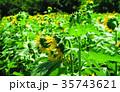 新座市総合運動公園の本多の森お花畑 35743621