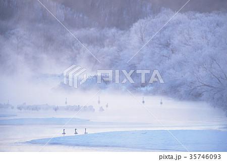 日の出前のタンチョウのねぐら&ハクチョウ(北海道) 35746093