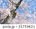 桜 35759621