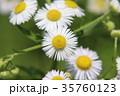 ヒメジョオン 姫女苑 花の写真 35760123