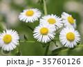ヒメジョオン 姫女苑 花の写真 35760126