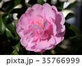 サザンカ 山茶花 ツバキ科の写真 35766999