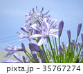 アガパンサス 花 パープルの写真 35767274