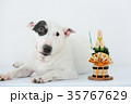 ブルテリア 犬 門松の写真 35767629