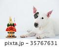 ブルテリア 犬 門松の写真 35767631