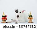 ブルテリア 犬 門松の写真 35767632