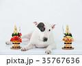 ブルテリア 犬 門松の写真 35767636
