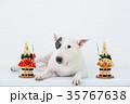 ブルテリア 犬 門松の写真 35767638