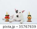 ブルテリア 犬 門松の写真 35767639