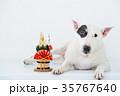 ブルテリア 犬 門松の写真 35767640