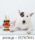 ブルテリア 犬 門松の写真 35767641