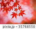 紅葉した楓 35768550