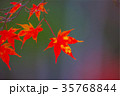 紅葉した楓 35768844