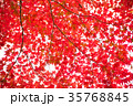 紅葉した楓 35768845