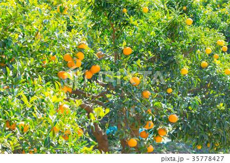 みかんの一種 柑橘系の果物 ※種類はよくわかりません イメージとしてお使いください 35778427