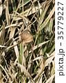 オオカマキリの卵嚢 35779227