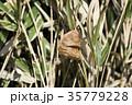 オオカマキリの卵嚢 35779228