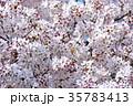 新河岸川の桜 35783413