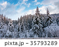 snow covered spruce forest in winter 35793289