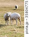 農場 動物 ひつじの写真 35804775