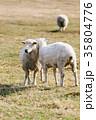 農場 動物 ひつじの写真 35804776