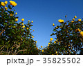 黄色のバラ満開の秋のバラ園 35825502