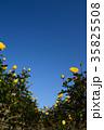 黄色のバラ満開の秋のバラ園 35825508