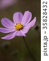 コスモス 花 植物の写真 35828432