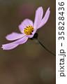 コスモス 花 植物の写真 35828436