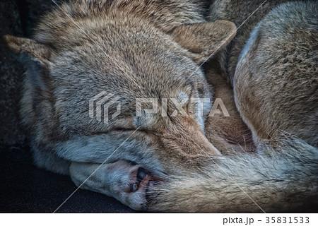寝ている狼 35831533