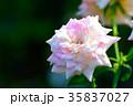 薔薇 花 ミルフィーユの写真 35837027