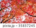 紅葉 もみじ 葉の写真 35837245