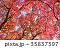 紅葉 もみじ 葉の写真 35837397
