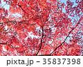 紅葉 もみじ 葉の写真 35837398