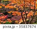紅葉 もみじ 葉の写真 35837674