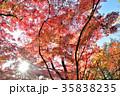 紅葉 もみじ 葉の写真 35838235