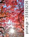 紅葉 もみじ 葉の写真 35838236