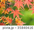 もみじ 紅葉 葉の写真 35840416