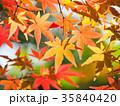 もみじ 紅葉 葉の写真 35840420