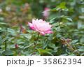 バラ 薔薇 薔薇園の写真 35862394