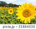 台灣,龍潭,向日葵,花展,大自然 35864030
