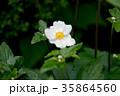 シュウメイギク 秋明菊 貴船菊の写真 35864560
