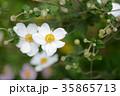 シュウメイギク 秋明菊 貴船菊の写真 35865713