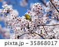 桜とメジロ 35868017