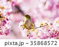 河津桜とメジロ 35868572