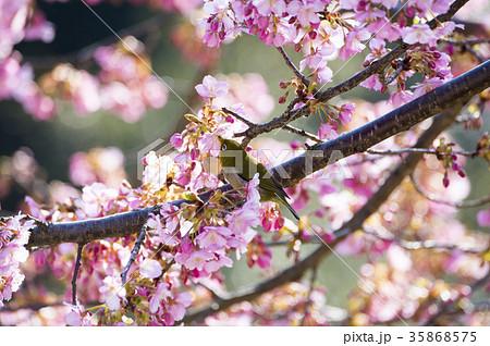 河津桜とメジロ 35868575