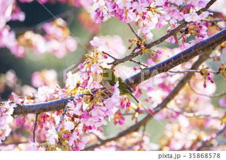 河津桜とメジロ 35868578