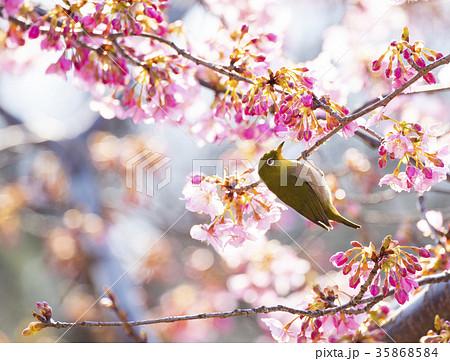 河津桜とメジロ 35868584