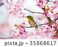桜 目白 花の写真 35868617