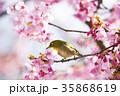 河津桜とメジロ 35868619
